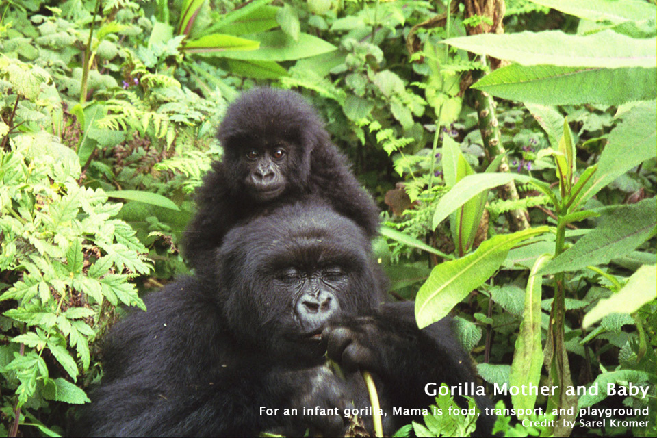 Gorilla Mother and Baby - Parc National des Volcans, Rwanda