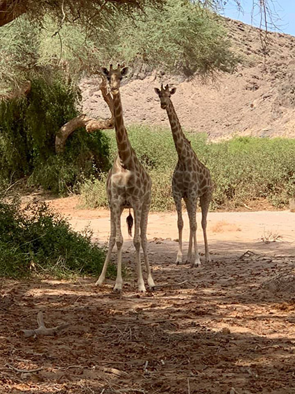 Giraffes in Hoanib Valley